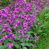 """""""Лунария""""- ультраранний цветок и оригинальный сухоцвет!!! Семена свежесобранные !!!"""