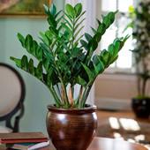 Замиокулькас (Долларовое дерево). Рассаживаю взрослое большое растение.