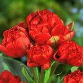 Собирайте лоты!!Букет с одной луковицы!Многоцветковый махровый пионовидный тюльпан Double Toronto.