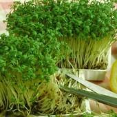 Семена Кресс-салата Афродита. Скороспелый, через 15-20 дней можно есть.