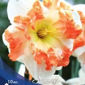 Эксклюзив!!Собирайте лоты! Нарцисс орхидейный Санни Гёрлфренд