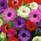 Собирайте лоты!Анемоны микс цветов-в лоте1 клубнелуковица.Зимующие в грунте не требуют выкопки.