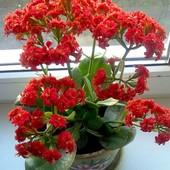 """Суккулент- каланхоэ""""Блоссфельда"""" махровое.Продаваемое растение цветет (фото2-3)!!!"""