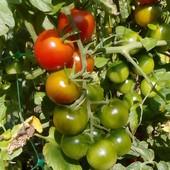 """супер ранний низкий томат """" Итальянские орешки"""""""