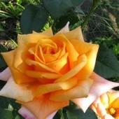 Роза чайно -гибридная Восходящее солнце -1 саженец