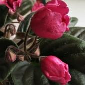 Красный Тюльпан - вкорінений листочок