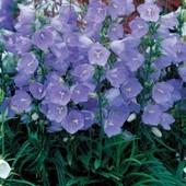 Колокольчик персиколистный, смесь белого и синего, до 2024 года. Садить осенью