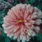 Хризантема летняя!!! Куст выкапываю перед отправкой! Фото мои.