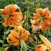 В лоте 1 фантастическая видоваялилия (Секция Archelirion) лилия Генри (Lilium henryі Baker)