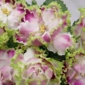 РС-Ледяная Роза - вкорінений листочок
