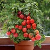 Помидоры бонсай балконное чудо - семена 20 штук.