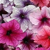 Петуния крупноцветковая смесь цветов.В лоте 1 пачка до 2026 года.семян.