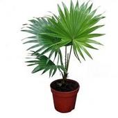 Пальма Вашингтония. Одна из самых красивых пальм. Семена 5 шт.