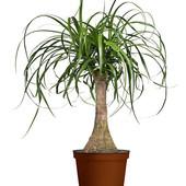 Нолина неприхотливое бутылочное растение. Семена 5 шт до 2025г