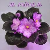 ЛЕ-Рафаель- вкорінений листочок
