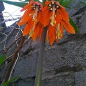 Для сада Царская корона 3 луковицы