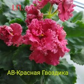 Фіалка АВ-Красная Гвоздика