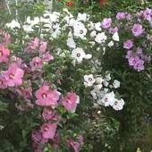 Гибискус садовый древовидный смесь трех цветов:белый, розовый, сиреневый 50+ семян