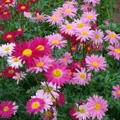 Пиретрум многолетний смесь цветов
