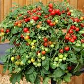Лучший для балкона — томат-карлик Prince Bajaja