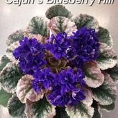Cajun's Blueberry Hill -вкорінені листочки
