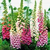 Наперстянка Эксельсиор микс цветов 100+ семян