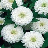 """Цинния """" Лилипутик"""" , белая, низкорослая. Для цветников и балконов. До 2025"""