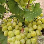 Самый вкусный  и крупный виноград!!! Ранний!!!