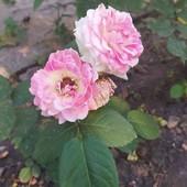 Розы белые с розовым в середине