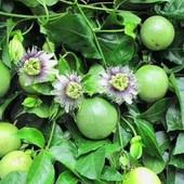 Маракуйя,семена