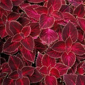 Колеус Блюме Красный Вельвет. Семена.